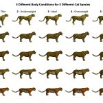 Body Conditions for Large Cats