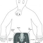 Male Reproductive System of the Aardvark
